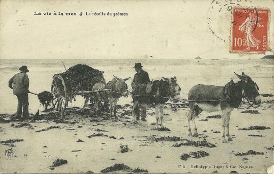 La vie à la mer, la récolte du goëmon.