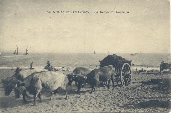 Croix-de-Vie, la récolte du goëmon.